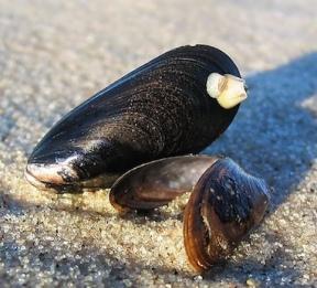 Zwei Muscheln